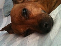 Lynda, chien Pinscher