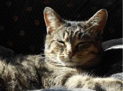 Lynette-Rip, chat Européen