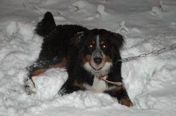 Lynka, chien Bouvier bernois