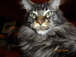 Lynx, chat Maine Coon