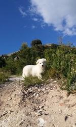 Lyoba, chien Berger blanc suisse