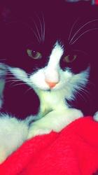 Lyoko, chat Européen