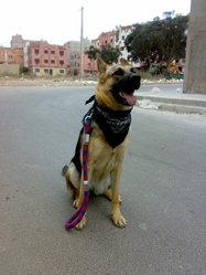 Lyona, chien Berger allemand