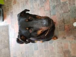 Lyps, chien Beauceron