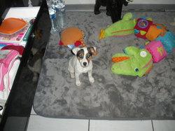 Lypsie, chien Jack Russell Terrier