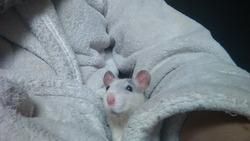 Lyra, rongeur Rat