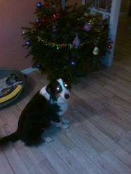 Lyra, chien Berger australien