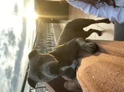 Lyron, chien Staffordshire Bull Terrier