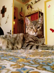 Lysa, chat Bengal