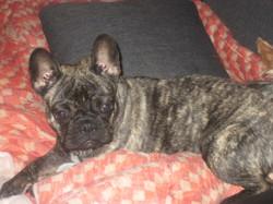 Lysie, chien Bouledogue français