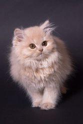 Lysis - Longhair, chat British Shorthair