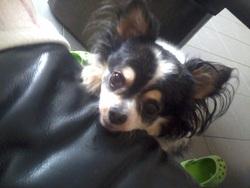 Lyssia , chien Chihuahua