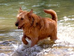 Lytchee, chien Griffon fauve de Bretagne