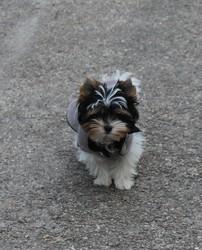 Lytsye, chien Yorkshire Terrier