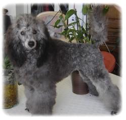 Lyzia, chien Caniche