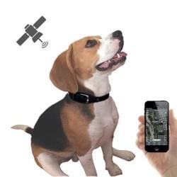 Mèfi, chien Beagle