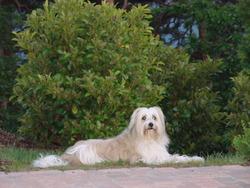 Ma Belle, chien Berger des Pyrénées