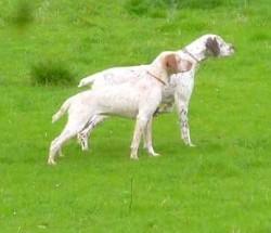 Ma Chérie Du Pech Du Cayrol, chien Braque du Bourbonnais