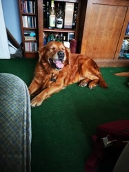 Mac, chien Golden Retriever