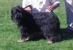 Maca, chien Berger catalan