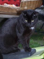 Macadam, chat Européen