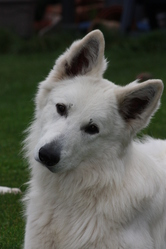 Macao, chien Berger blanc suisse