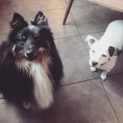 Macao, chien Berger des Shetland