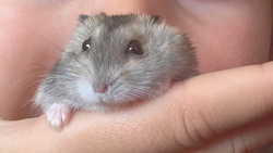 Macaron, rongeur Hamster