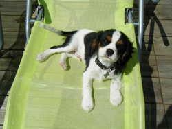 Macaron, chien Cavalier King Charles Spaniel