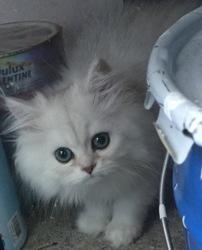 Macaron, chat Persan