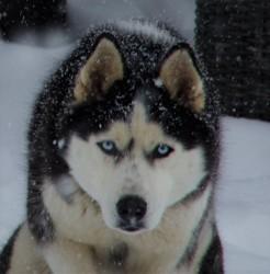 Macchiato, chien Husky sibérien