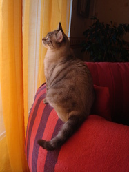 Macha, chat Siamois