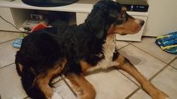 Macha, chien Bouvier bernois