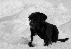 Macho, chien Labrador Retriever