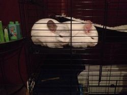 Machou Et Pichou, rongeur Chinchilla
