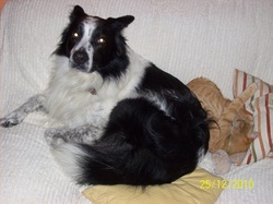 Macintosh, chien Border Collie