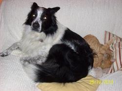 Macintosh, chien Border Collie