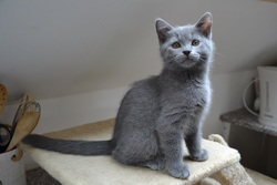 Maddie, chat Chartreux
