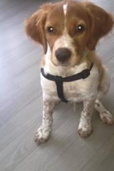 Maddock, chien Épagneul breton