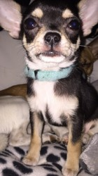 Maddy, chien Chihuahua