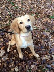 Maddy, chien Épagneul breton
