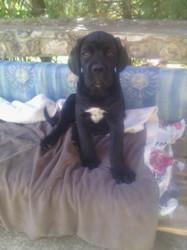 Maddy, chien Cane Corso