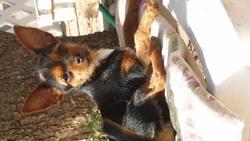 Maddyssonne, chien Chihuahua
