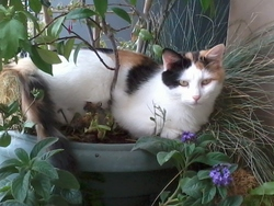 Mademoiselle, chat Persan