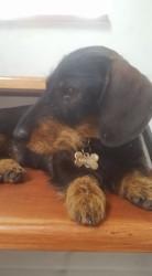 Mademoiselle, chien Teckel