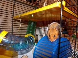 Mademoizelle-Moizelle, rongeur Hamster