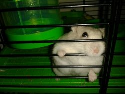 Madeon, rongeur Hamster