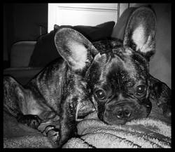 Madiba, chien Bouledogue français