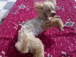 Madison, chien Caniche