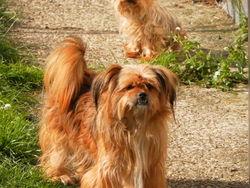 Madison, chien Pékinois